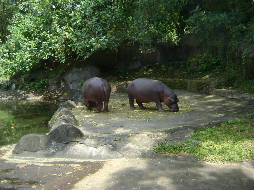Benar bagi yang menjawab Hippo atau Kuda Nil. Ini temennya Gloria yang ada di Madagaskar.